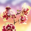 Beautiful yellow with red spots orchid — Stock Photo #13785362