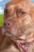 Pit Bull Mix Dog — Stock Photo