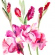 Beautiful Gladiole  flowers — Stock Photo