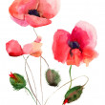 Stylized Poppy flowers illustration — Stock Photo #13753102