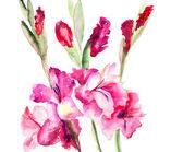 Beautiful Gladiole flowers — Stok fotoğraf