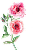 Beautiful Roses flowers — Stock Photo
