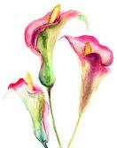 Flores de lírio de calla — Foto Stock