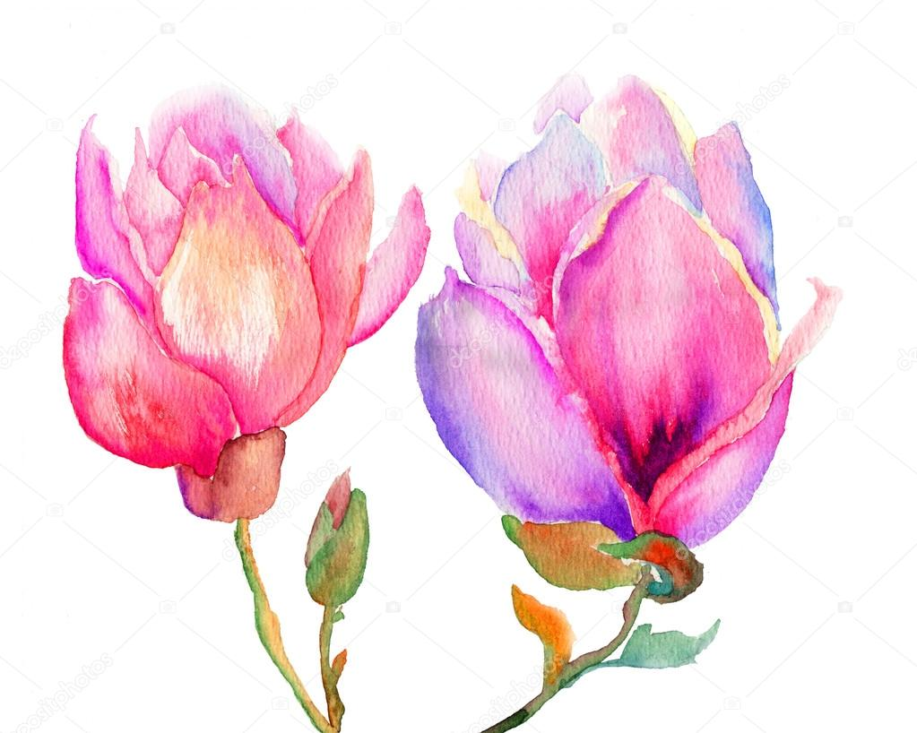 Beautiful Magnolia flowers, watercolor illustration   Stock Photo #15637943
