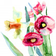 Narcissus and Poppy flowers - Stock Photo