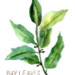 Bay leaves — Stock Photo #19810513