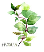 Majoran, watercolor illustration — Stock Photo
