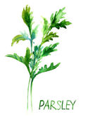 Parsley, watercolor illustration — Stock Photo