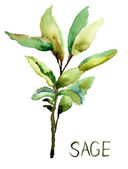Sage, watercolor illustration — Stock Photo