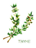 Thyme, watercolor illustration — Stock Photo