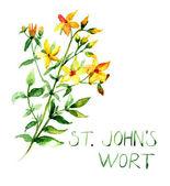 Common St John's Wort wild plant Hypericum perforatum — Stock Photo