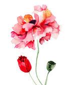 Coloridas flores de amapola — Foto de Stock