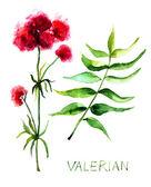 Valerian herb — Stock Photo