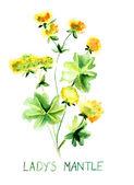 Ladys mantle herb — Stock Photo