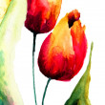 tulpen blumen — Stockfoto