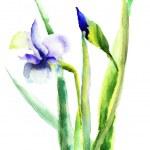 fleurs d'IRIS — Photo