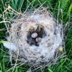 Bird nest with eggs — Stock Photo