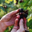 Blackberry harvest collecting — Stock Photo #13335461