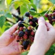 Blackberry harvest collecting — Stock Photo #13335464
