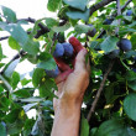 Blackberry harvest collecting — Stock Photo