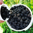 Blackberry harvest collecting — Stock Photo #13335501