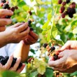 Blackberry harvest collecting — Stock Photo #13335510