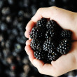 图库照片: Blackberry harvest collecting