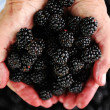 Blackberry harvest collecting — Stock Photo
