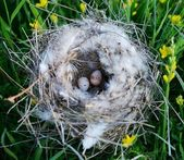 Bird nest with eggs — Stock fotografie