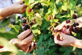 收集的黑莓收获 — 图库照片