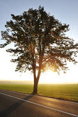 Tree on road at sunset — Stockfoto