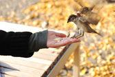 Karmienie ptaków w parku, materiału siewnego w ręku — Zdjęcie stockowe