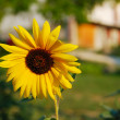 Stock Photo: Beautiful yellow sun flower