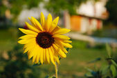 Beautiful yellow sun flower — Stock Photo