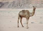 砂漠でのラクダ — ストック写真