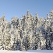 Winter snow covered fir trees on mountainside on blue sky background - Stock Photo