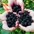 Blackberry harvest collecting — Stock Photo #21542593