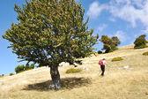 Woman treking and tree — Stock Photo