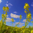 Canola — Stock Video