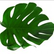 Stock Photo: Leaf of Monsterplant