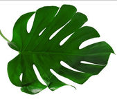 Leaf of Monstera plant — Stock Photo