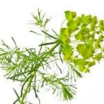 ������, ������: Cypress spurge