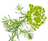Cypress spurge — Stock Photo