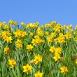 Narcissus spring — Stock Photo