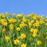 Постер, плакат: Narcissus spring
