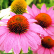 Echinacea flowers — Stock Photo