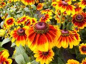 Sonnenhut Echinacea — Stock Photo