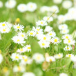 Beautiful daisies in the field — Stock Photo #11834518