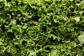 Close up of lettuce leaves — Stock Photo