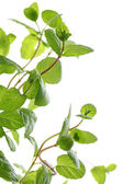 Close up of fresh mint over a white background — Stock Photo